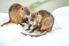 Wild Beavers Family In The Snow Stock Photo