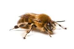 Wild bee Royalty Free Stock Image