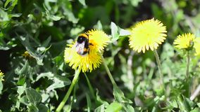 Wild bee bumblebee on a dandelion bloom. On sunny spring day stock video footage
