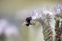 Wild bee collecting nectar from a flower during spring. Macro / stock photo