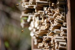Wild bee flying in front of insect shelter. Solitary bee Osmia bicornis Stock Photo