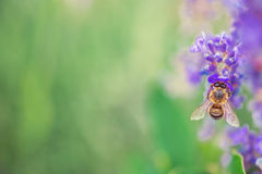 Wild bee on Lavender field Royalty Free Stock Images