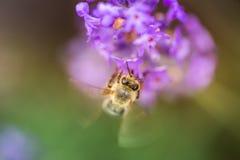 Wild bee on Lavender Royalty Free Stock Photos