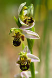 Wild Bee Orchid flowers stem - Ophrys apifera Royalty Free Stock Photos