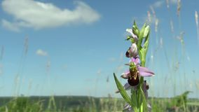 Wild Bee Orchid (Ophrys apifera), endangered species, the UNESCO Bile Karpaty stock video