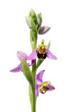 Wild Bee orchid - Ophrys apifera Stock Photo