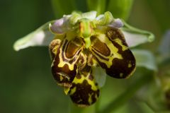 Wild bee Orchid triple labellum malformation - Ophrys apifera. Wild Bee Orchid Ophrys apifera deformed flower with triple labellum over a natural green out of Royalty Free Stock Image