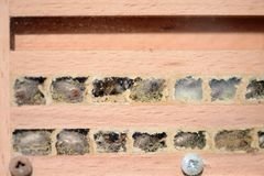 Wild bee Osmia bicornis larvae in insect hotel. look into aa nest sticks.  royalty free stock photo