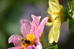 Wild bee. And pink flower Stock Images