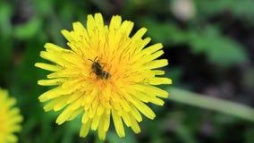 Wild bee in the pollen of dandelion stock footage