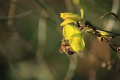 Bee on a winter cress. Yellow flower closeup on dark background. royalty free stock image