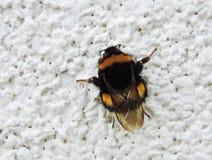 Wild bee on wall Royalty Free Stock Photos