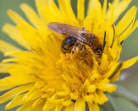 Wild bee at work. Wild bee collecting pollen from a dandelion Stock Photos