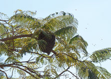 Wild bees swarm. On the branch of acacia Royalty Free Stock Photography
