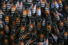 Wild bees Stock Image