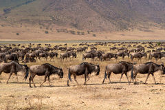 Free Wild Beest Migration In Tanzania Stock Photos - 38634853