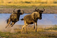 Wild beest migration in tanzania Royalty Free Stock Images