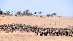Wild beest migration in tanzania Royalty Free Stock Photo