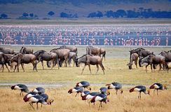 Wild beest migration in tanzania stock images