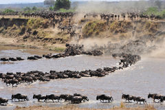 Wild beest migration in tanzania stock image