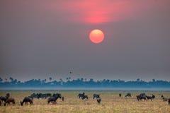 Wild beest migration in tanzania royalty free stock photos