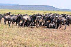 Wild beest migration in tanzania. Herd of Wildebeest (During the Great Migration, the Ndutu Plains are home to two million Wildebeests and 300.000 Zebras Stock Photos