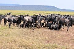 Wild beest migration in tanzania Stock Photos