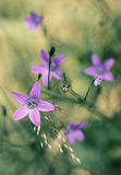 Wild bell flowers in a meadow Royalty Free Stock Photo