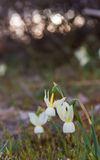 Wild bell-shaped flowers Stock Images