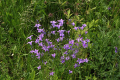 Wild bellflowers Royalty Free Stock Image