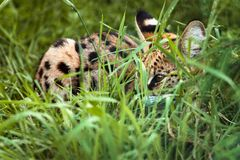 Wild Bengal cat is lying on the grass stock photography