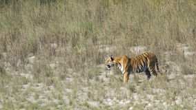 Wild bengal tiger in Bardia national park, Nepal Stock Image