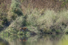 Wild bengal tiger in Bardia national park, Nepal Royalty Free Stock Photo
