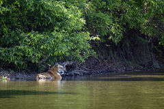 Wild bengal tiger bathing in the Karnali river at Bardia national park, Nepal Stock Photo