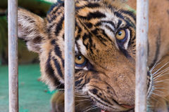 Wild bengal tiger captured behind bars Stock Photo