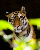Wild Bengal Tiger in the cave. India. Bandhavgarh National Park. Madhya Pradesh. Stock Photo