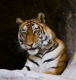 Wild Bengal Tiger in the cave. India. Bandhavgarh National Park. Madhya Pradesh. Royalty Free Stock Images