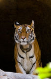Wild Bengal Tiger in the cave. India. Bandhavgarh National Park. Madhya Pradesh. Stock Images