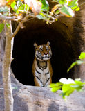 Wild Bengal Tiger in the cave. India. Bandhavgarh National Park. Madhya Pradesh. Royalty Free Stock Photography