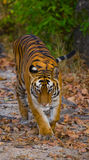 Wild Bengal Tiger is going on the road in the jungle. India. Bandhavgarh National Park. Madhya Pradesh. Stock Photography