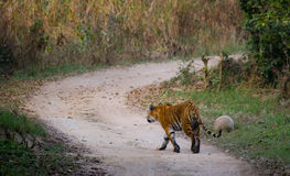 Wild Bengal Tiger is going on the road in the jungle. India. Bandhavgarh National Park. Madhya Pradesh. Royalty Free Stock Image