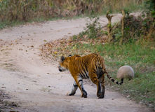 Wild Bengal Tiger is going on the road in the jungle. India. Bandhavgarh National Park. Madhya Pradesh. Royalty Free Stock Photography