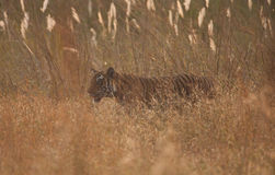 Wild Bengal tiger in the grass Royalty Free Stock Image