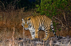 Wild Bengal tiger looks out from the bushes in the jungle. India. Bandhavgarh National Park. Madhya Pradesh. Stock Images
