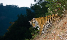 Wild Bengal tiger looks out from the bushes in the jungle. India. Bandhavgarh National Park. Madhya Pradesh. Stock Photo