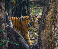 Wild Bengal tiger looks out from the bushes in the jungle. India. Bandhavgarh National Park. Madhya Pradesh. Royalty Free Stock Image