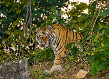 Wild Bengal tiger looks out from the bushes in the jungle. India. Bandhavgarh National Park. Madhya Pradesh. Royalty Free Stock Images