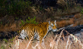 Wild Bengal tiger looks out from the bushes in the jungle. India. Bandhavgarh National Park. Madhya Pradesh. Stock Photos