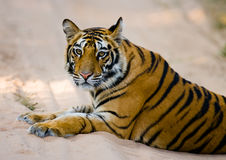 Wild Bengal Tiger lying on the road in the jungle. India. Bandhavgarh National Park. Madhya Pradesh. An excellent illustration Royalty Free Stock Photography