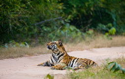 Wild Bengal Tiger lying on the road in the jungle. India. Bandhavgarh National Park. Madhya Pradesh. An excellent illustration Royalty Free Stock Photo